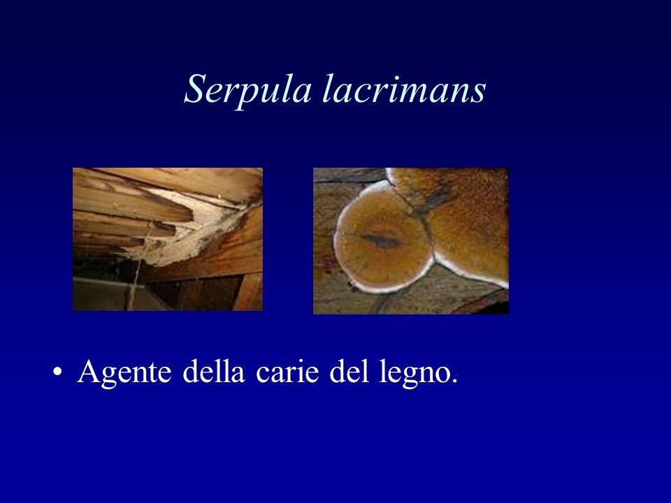 Serpula lacrimans Agente della carie del legno.
