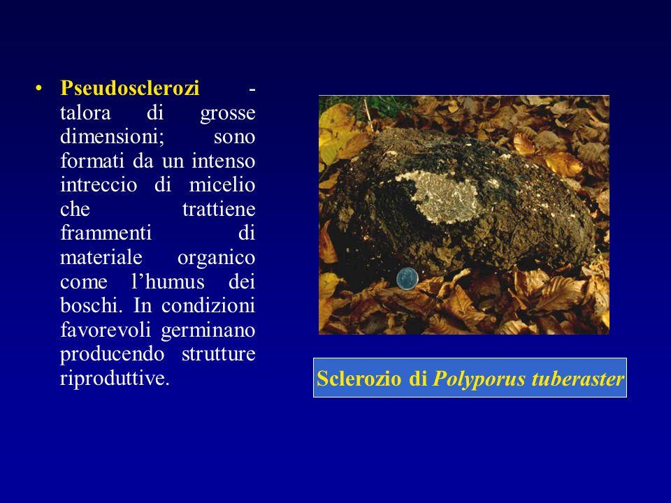 Pseudosclerozi - talora di grosse dimensioni; sono formati da un intenso intreccio di micelio che trattiene frammenti di materiale organico come lhumu