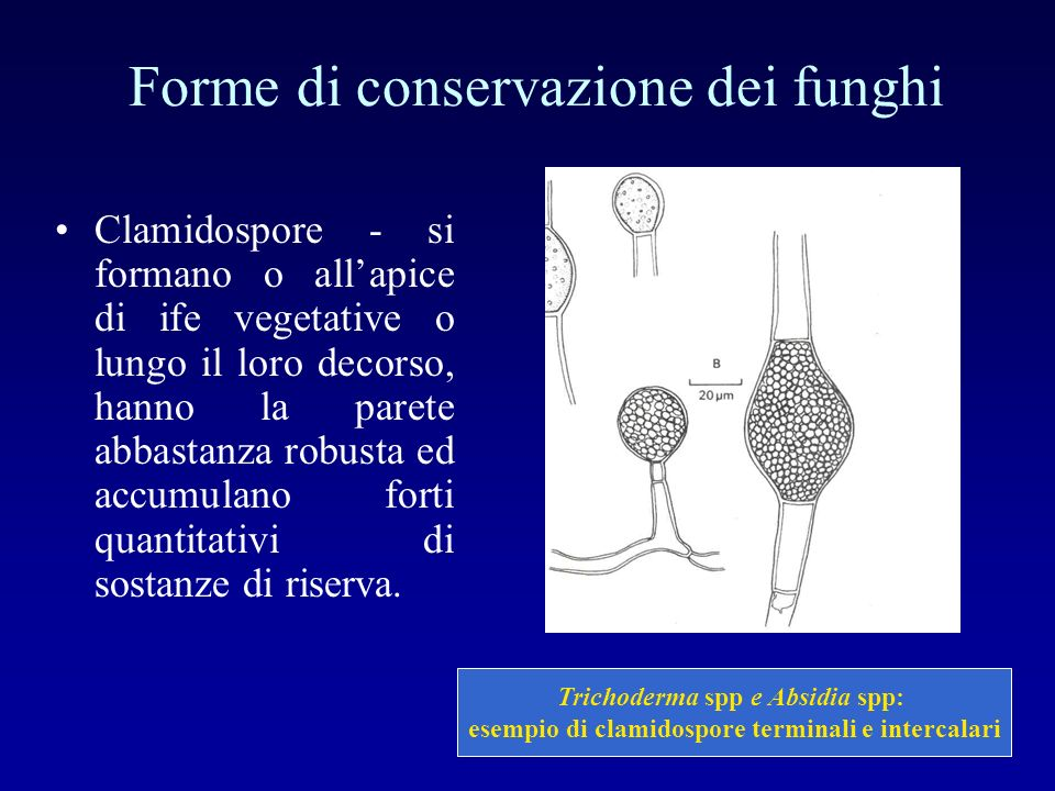 Forme di conservazione dei funghi Clamidospore - si formano o allapice di ife vegetative o lungo il loro decorso, hanno la parete abbastanza robusta e
