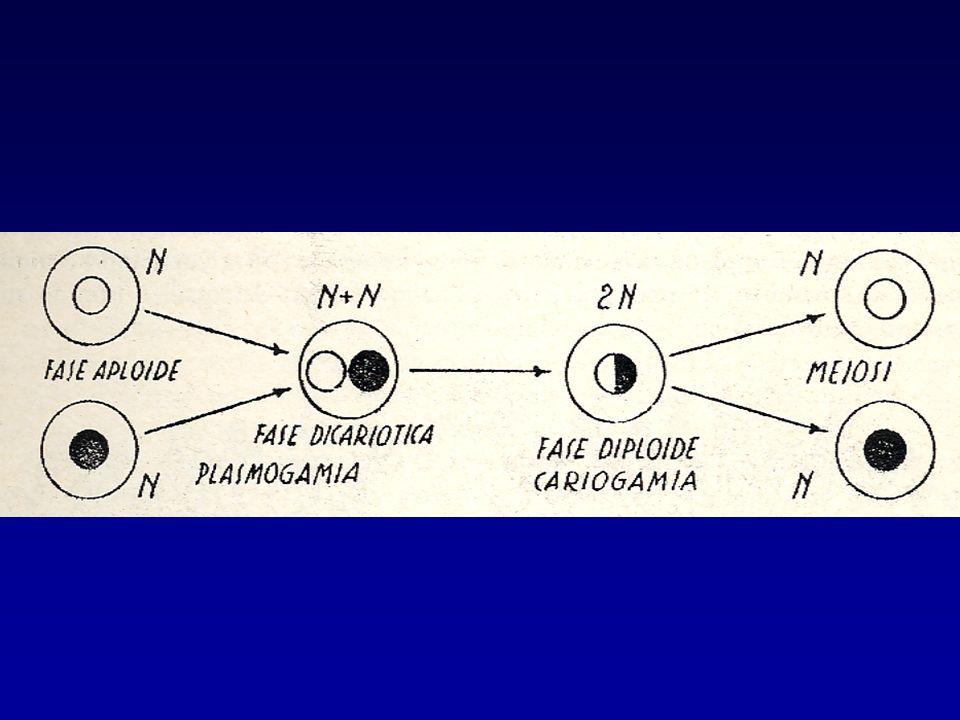 AMFIMISSIA Consiste nella copulazione di due cellule sessuate di non stretta parentela.