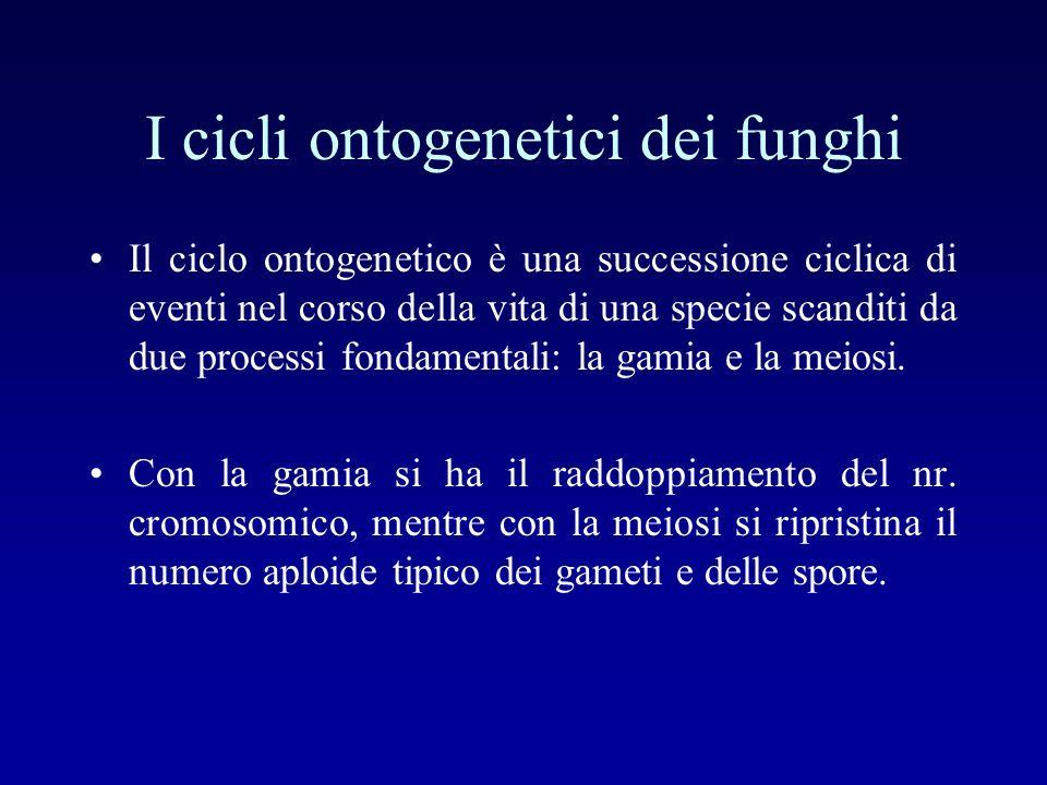 I cicli ontogenetici dei funghi Il ciclo ontogenetico è una successione ciclica di eventi nel corso della vita di una specie scanditi da due processi