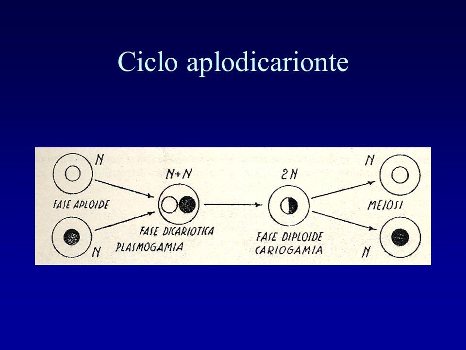 Ciclo aplodicarionte