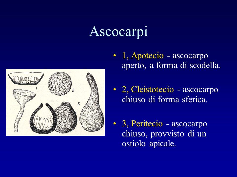 Ascocarpi 1, Apotecio - ascocarpo aperto, a forma di scodella. 2, Cleistotecio - ascocarpo chiuso di forma sferica. 3, Peritecio - ascocarpo chiuso, p