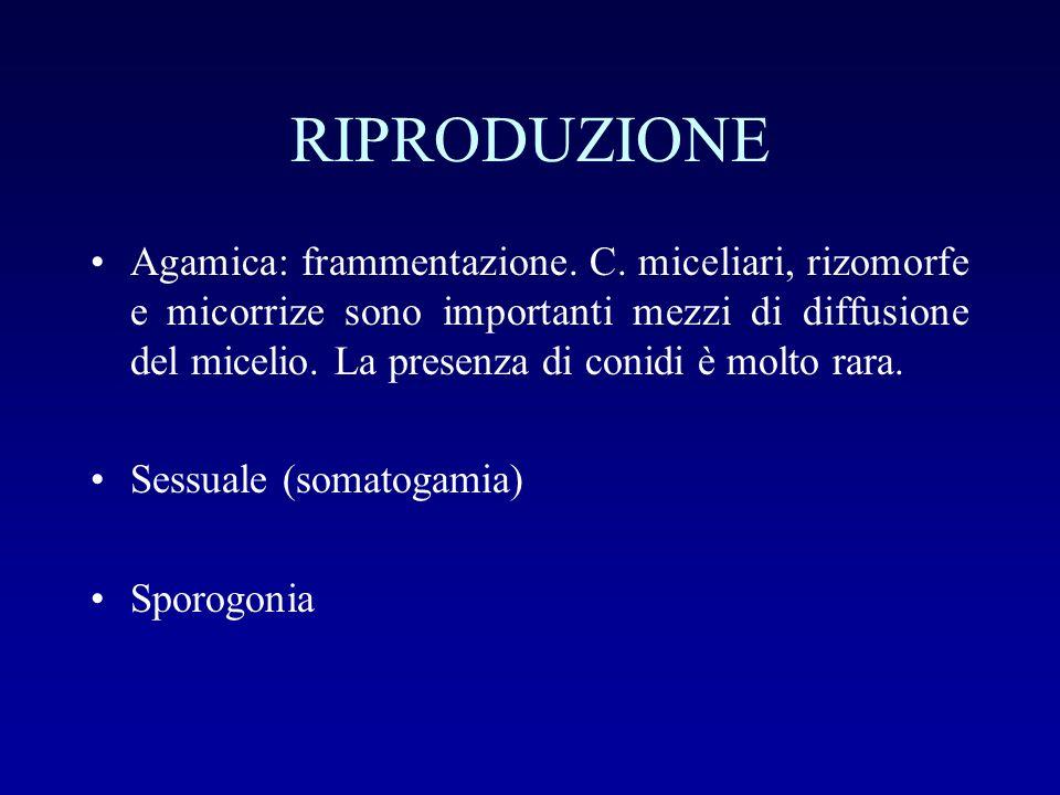RIPRODUZIONE Agamica: frammentazione. C. miceliari, rizomorfe e micorrize sono importanti mezzi di diffusione del micelio. La presenza di conidi è mol