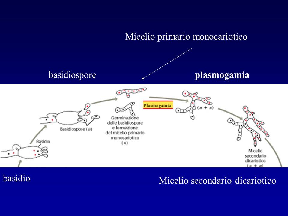 basidio basidiosporeplasmogamia Micelio secondario dicariotico Micelio primario monocariotico