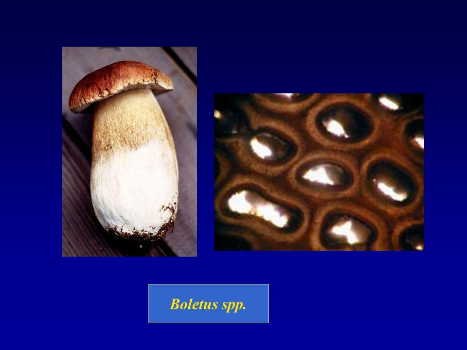 Boletus spp.