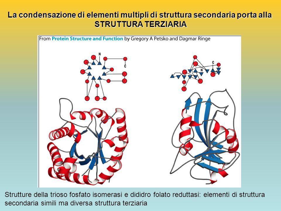 La condensazione di elementi multipli di struttura secondaria porta alla STRUTTURA TERZIARIA Strutture della trioso fosfato isomerasi e dididro folato