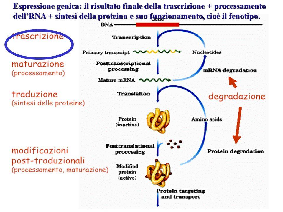 Espressione genica: il risultato finale della trascrizione + processamento dellRNA + sintesi della proteina e suo funzionamento, cioè il fenotipo.
