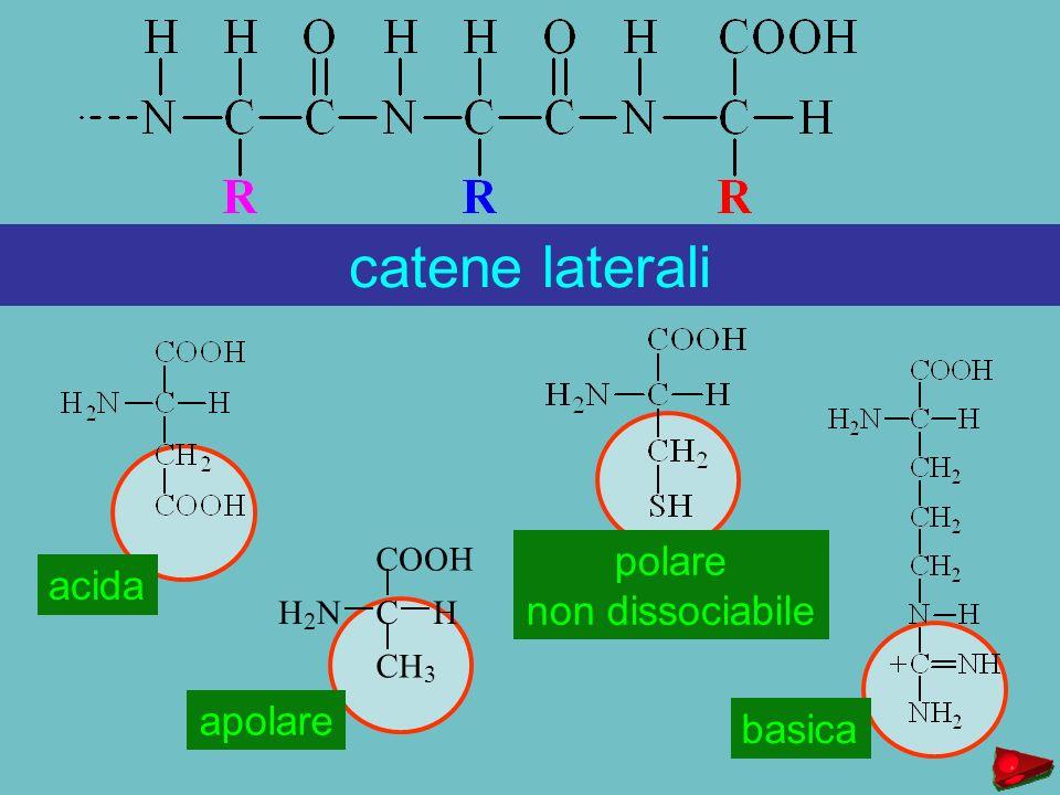 COOH CHH 2 N CH 3 catene laterali acida apolare polare non dissociabile basica