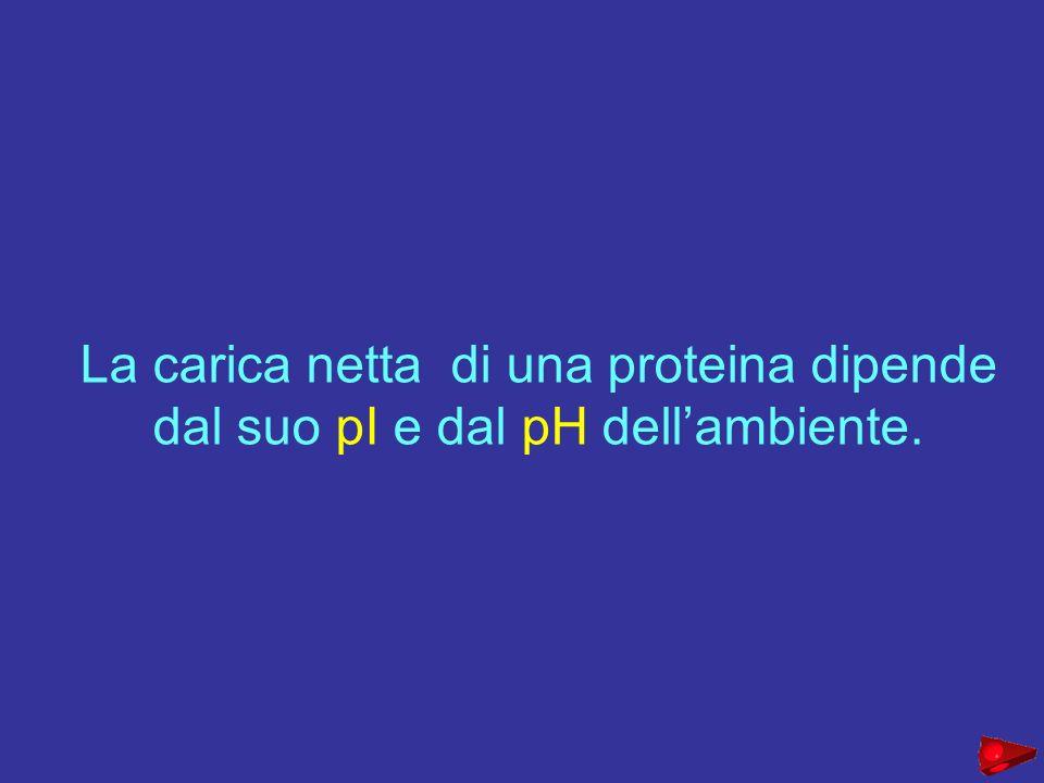 La carica netta di una proteina dipende dal suo pI e dal pH dellambiente.