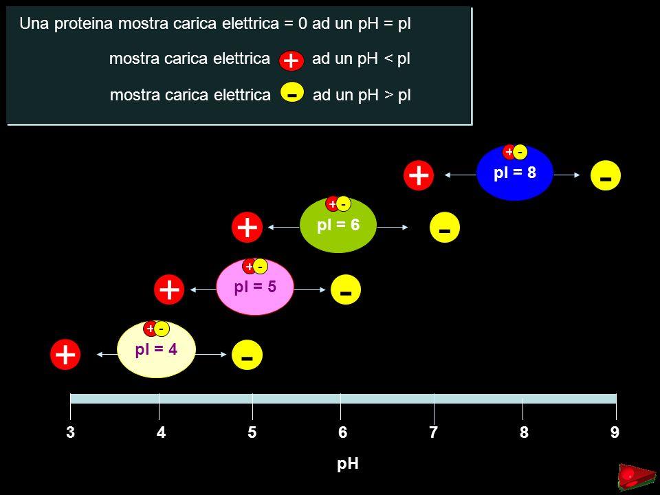3945678 pH - - - - + + + + pI = 8 pI = 6 pI = 5 pI = 4 Una proteina mostra carica elettrica = 0 ad un pH = pI mostra carica elettrica ad un pH < pI +