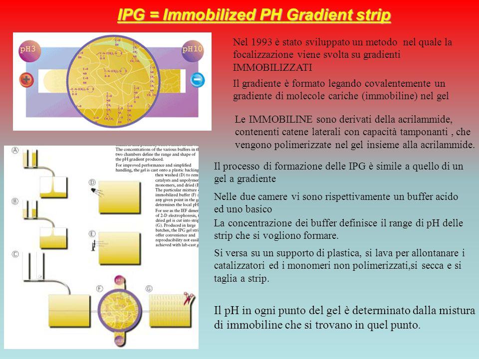 IPG = Immobilized PH Gradient strip Nel 1993 è stato sviluppato un metodo nel quale la focalizzazione viene svolta su gradienti IMMOBILIZZATI Il gradi
