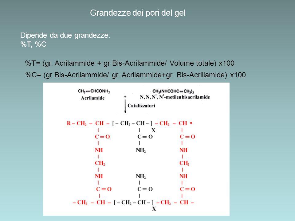 Grandezze dei pori del gel Dipende da due grandezze: %T, %C %T= (gr. Acrilammide + gr Bis-Acrilammide/ Volume totale) x100 %C= (gr Bis-Acrilammide/ gr