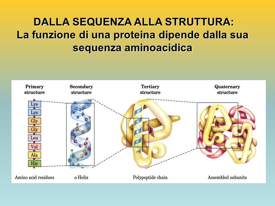DALLA SEQUENZA ALLA STRUTTURA: DALLA SEQUENZA ALLA STRUTTURA: La funzione di una proteina dipende dalla sua sequenza aminoacidica