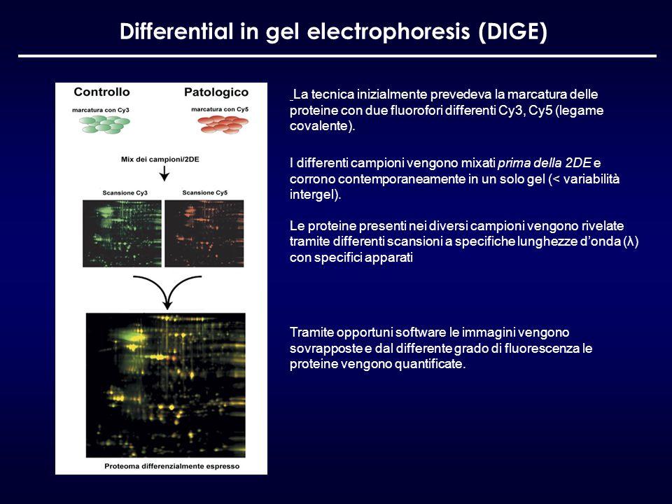 Differential in gel electrophoresis (DIGE) La tecnica inizialmente prevedeva la marcatura delle proteine con due fluorofori differenti Cy3, Cy5 (legam