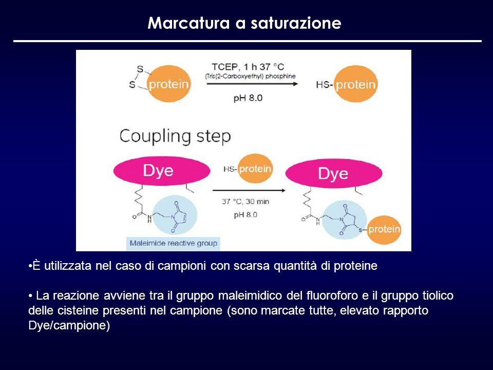 Marcatura a saturazione È utilizzata nel caso di campioni con scarsa quantità di proteine La reazione avviene tra il gruppo maleimidico del fluoroforo