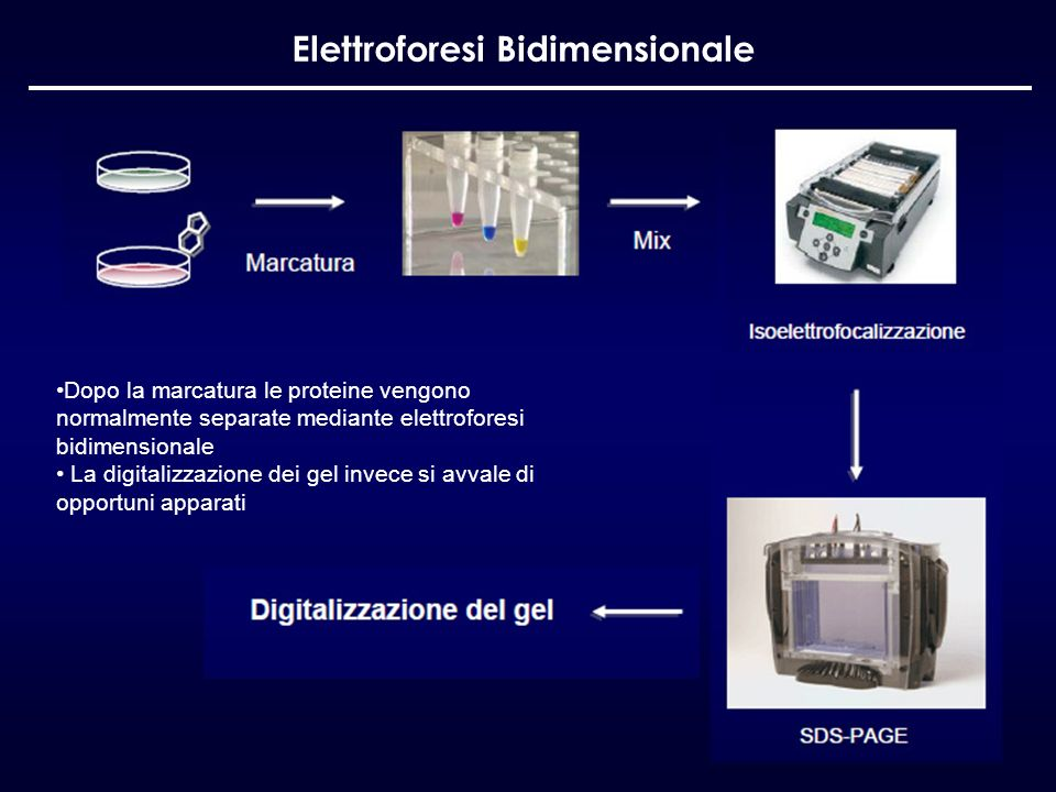Elettroforesi Bidimensionale Dopo la marcatura le proteine vengono normalmente separate mediante elettroforesi bidimensionale La digitalizzazione dei