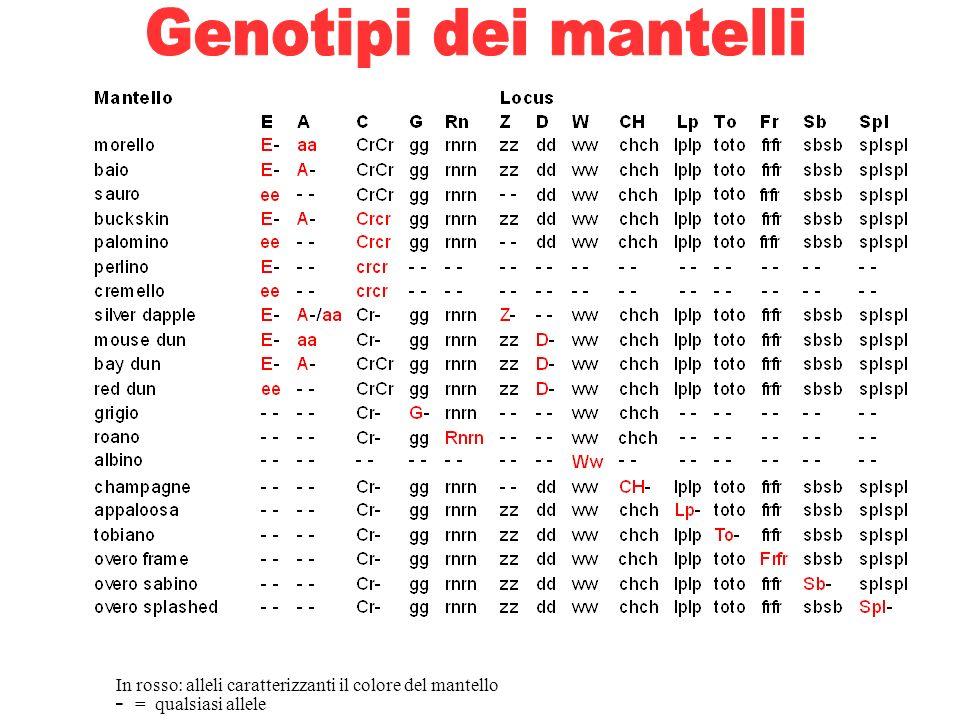 In rosso: alleli caratterizzanti il colore del mantello - = qualsiasi allele