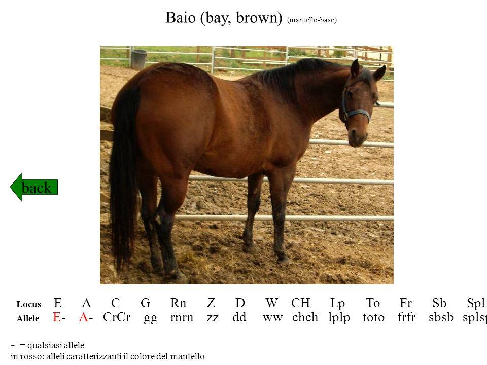 Sauro (chestnut, sorrel) (mantello-base) back Locus E A C G Rn Z D W CH Lp To Fr Sb Spl Allele ee -- CrCr gg rnrn -- dd ww chch lplp toto frfr sbsb splspl in rosso: alleli caratterizzanti il colore del mantello - = qualsiasi allele