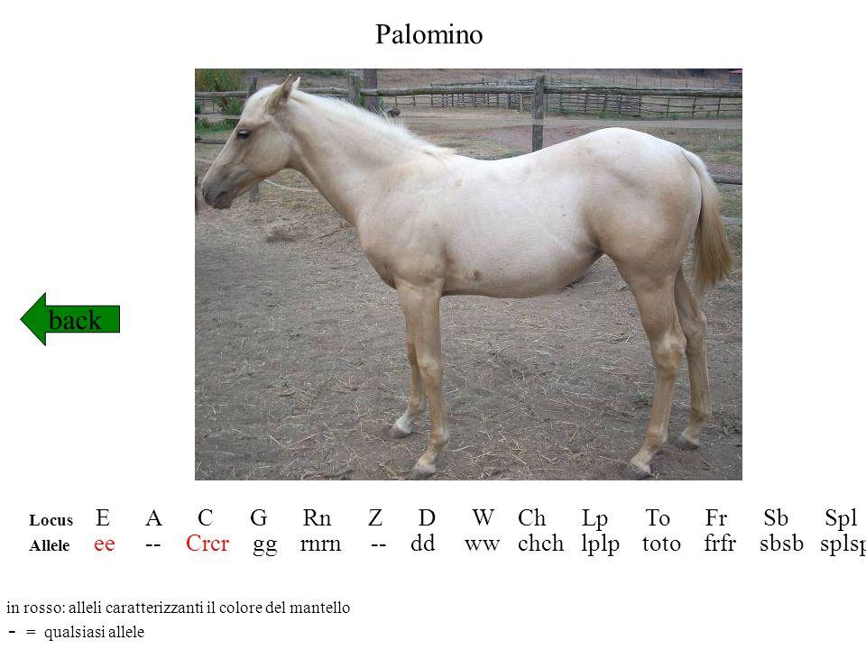 Palomino back Locus E A C G Rn Z D W Ch Lp To Fr Sb Spl Allele ee -- Crcr gg rnrn -- dd ww chch lplp toto frfr sbsb splspl in rosso: alleli caratteriz