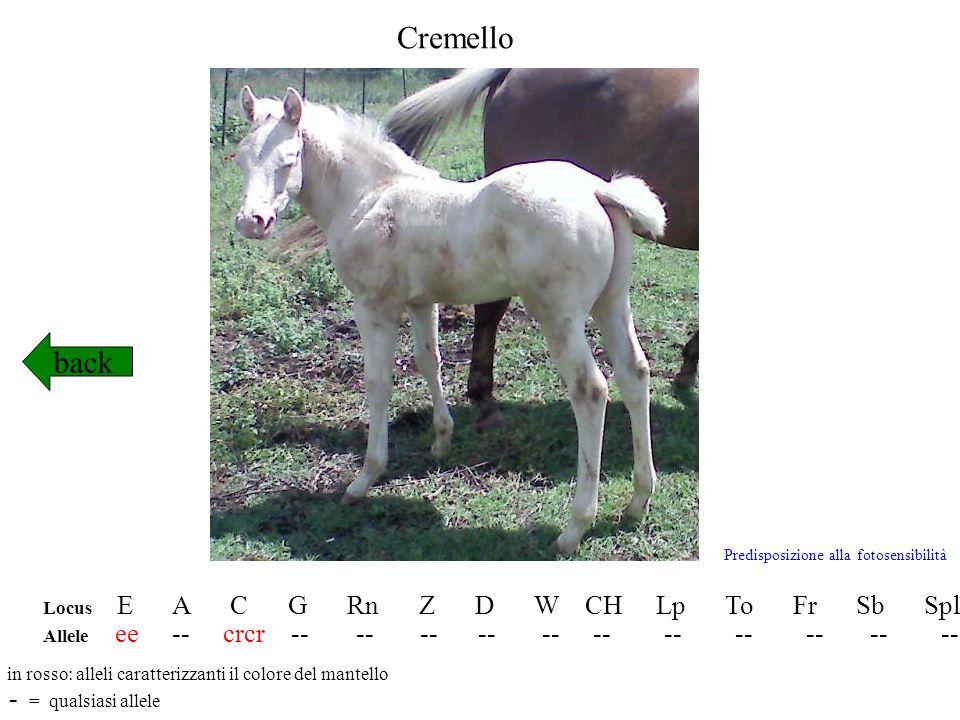 Silver dapple back Locus E A C G Rn Z D W CH Lp To Fr Sb Spl Allele E- A-/aa Cr- gg rnrn Z- -- ww chch lplp toto frfr sbsb splspl in rosso: alleli caratterizzanti il colore del mantello - = qualsiasi allele http://www.homozygous-horses.com/silverdapple.html