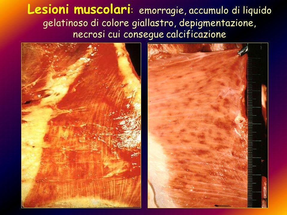 Lesioni muscolari : emorragie, accumulo di liquido gelatinoso di colore giallastro, depigmentazione, necrosi cui consegue calcificazione