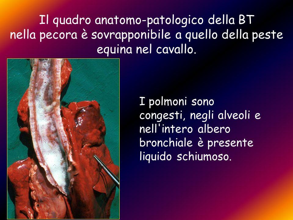 Il quadro anatomo-patologico della BT nella pecora è sovrapponibile a quello della peste equina nel cavallo. I polmoni sono congesti, negli alveoli e