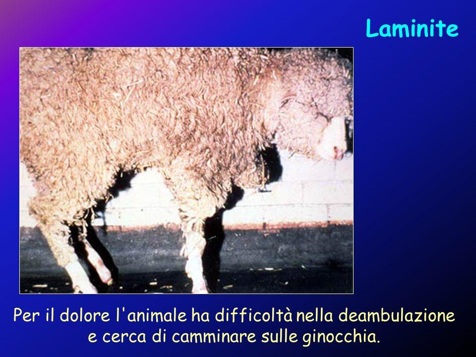 Laminite Per il dolore l'animale ha difficoltà nella deambulazione e cerca di camminare sulle ginocchia.