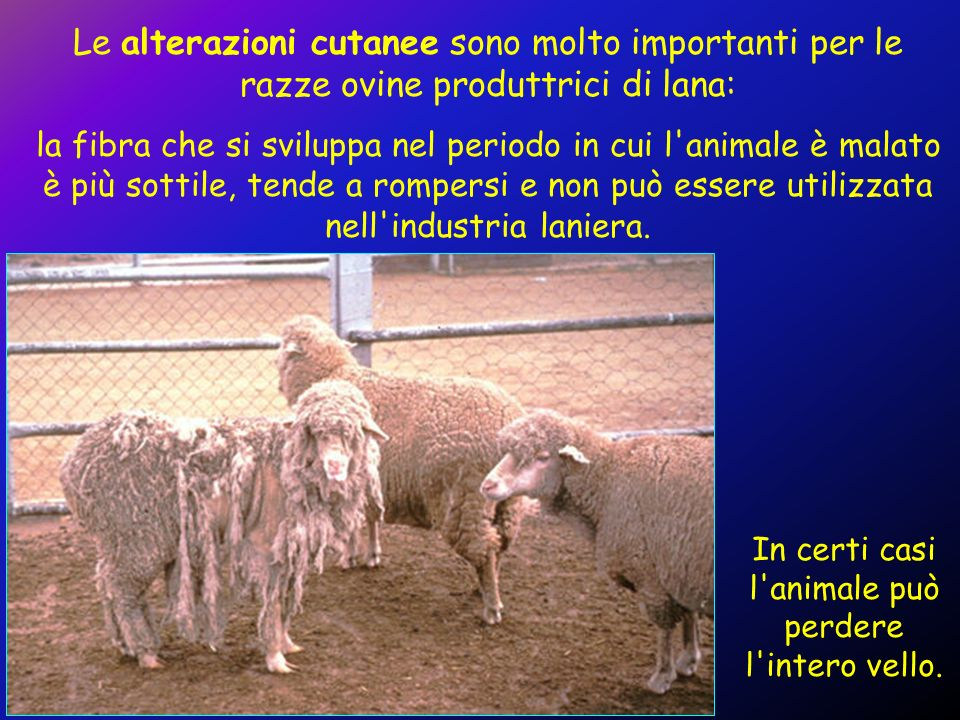 Le alterazioni cutanee sono molto importanti per le razze ovine produttrici di lana: la fibra che si sviluppa nel periodo in cui l'animale è malato è