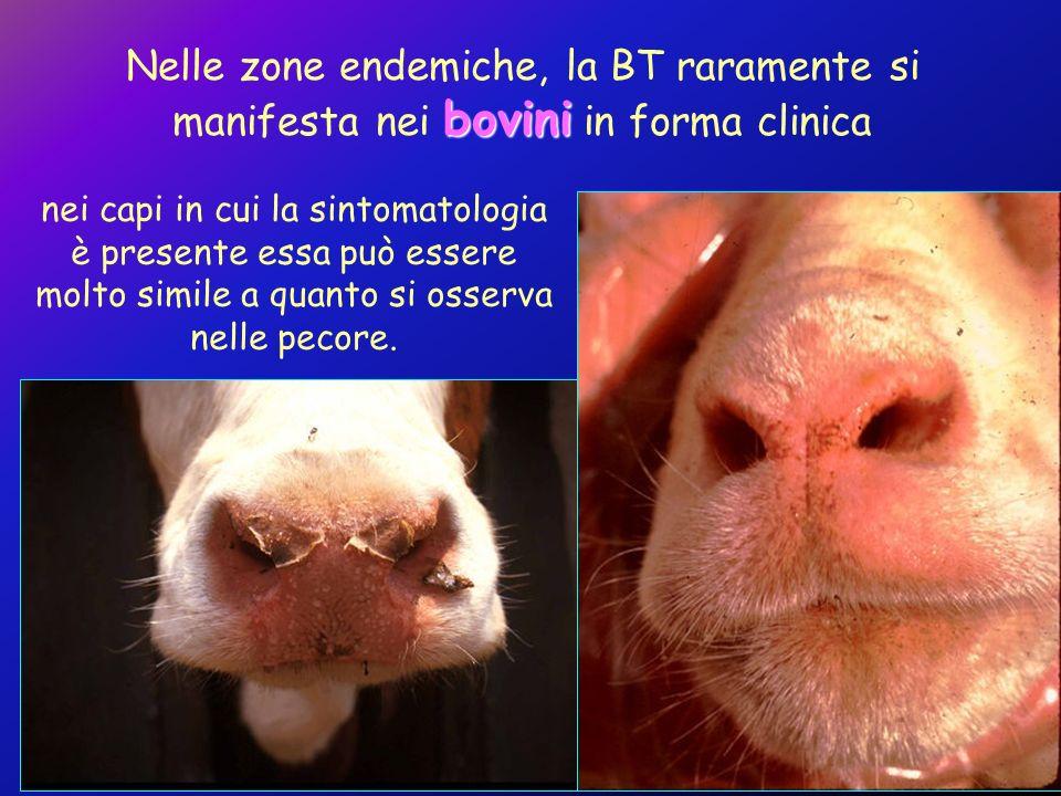 bovini Nelle zone endemiche, la BT raramente si manifesta nei bovini in forma clinica nei capi in cui la sintomatologia è presente essa può essere mol