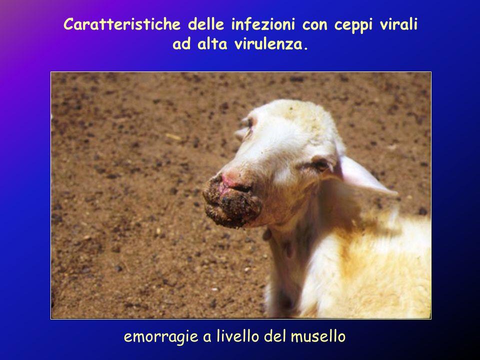 emorragie a livello del musello Caratteristiche delle infezioni con ceppi virali ad alta virulenza.