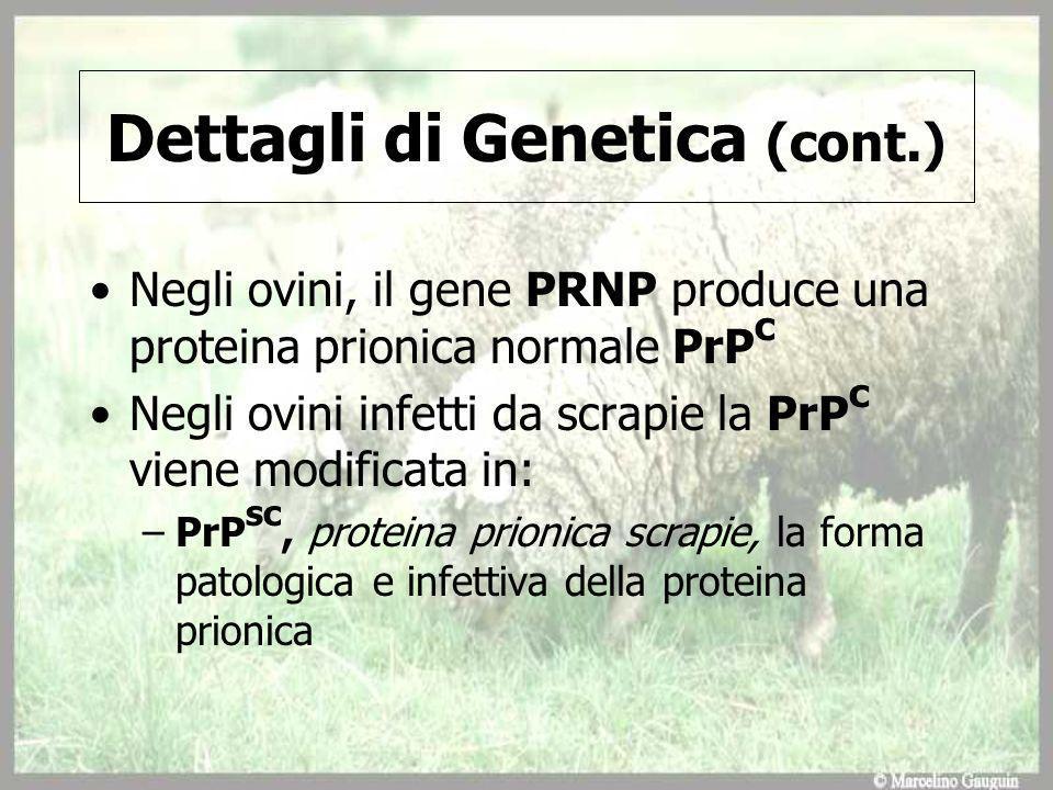 Dettagli di Genetica (cont.) Negli ovini, il gene PRNP produce una proteina prionica normale PrP c Negli ovini infetti da scrapie la PrP c viene modificata in: –PrP sc, proteina prionica scrapie, la forma patologica e infettiva della proteina prionica