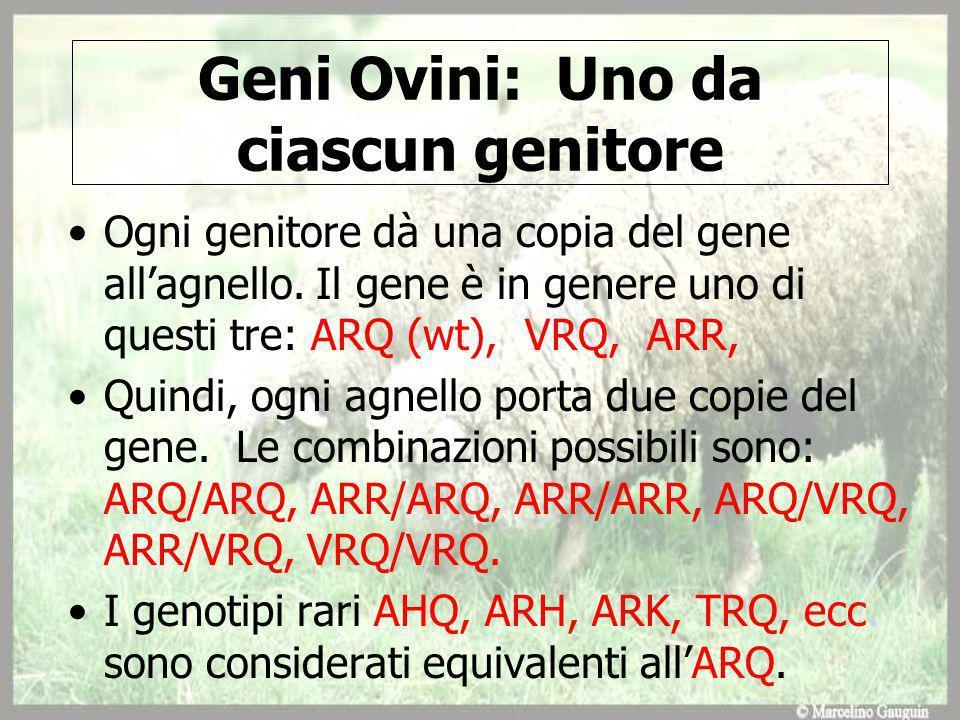 Geni Ovini: Uno da ciascun genitore Ogni genitore dà una copia del gene allagnello.