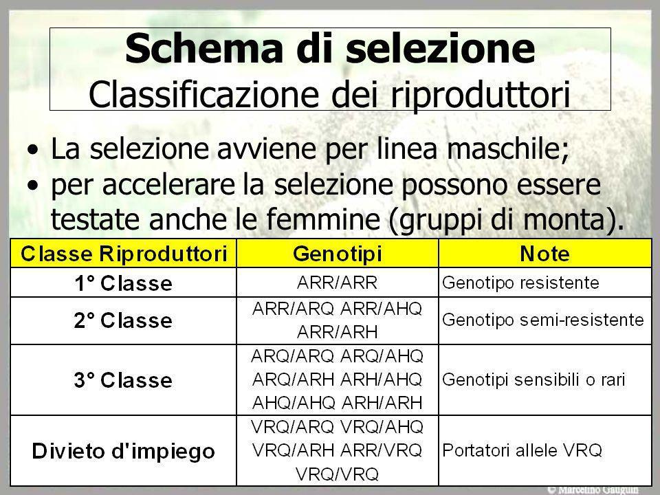 Schema di selezione Classificazione dei riproduttori La selezione avviene per linea maschile; per accelerare la selezione possono essere testate anche le femmine (gruppi di monta).