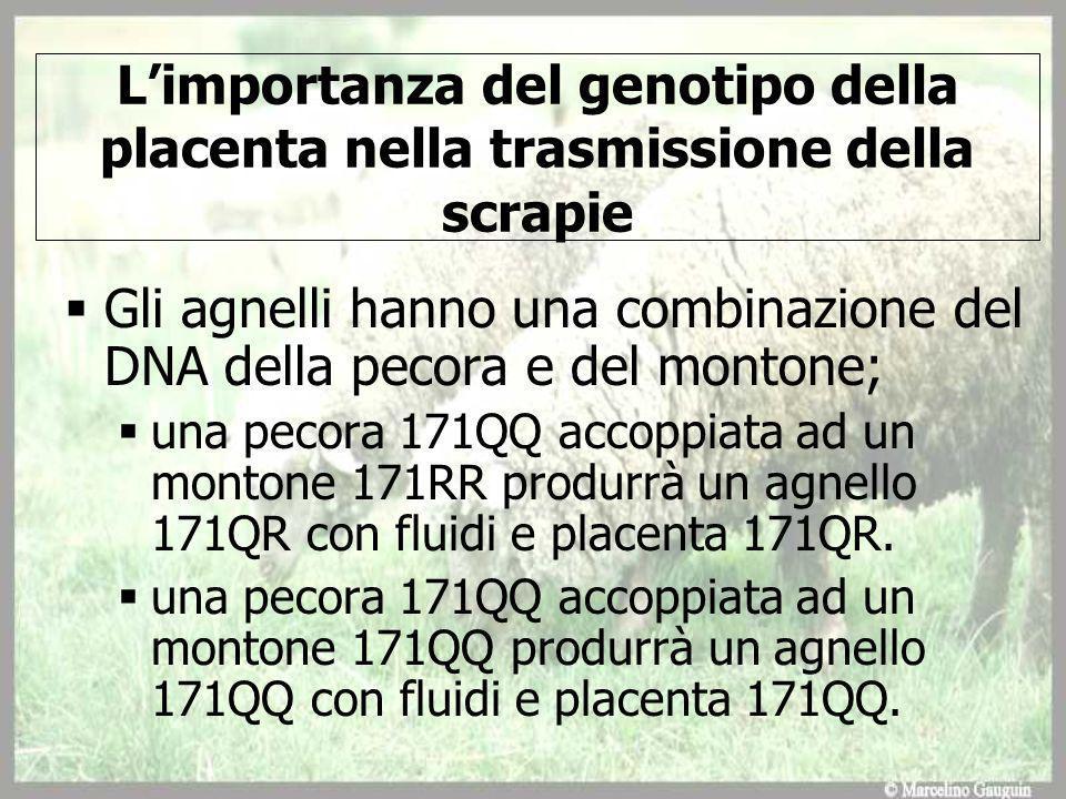 Limportanza del genotipo della placenta nella trasmissione della scrapie Gli agnelli hanno una combinazione del DNA della pecora e del montone; una pecora 171QQ accoppiata ad un montone 171RR produrrà un agnello 171QR con fluidi e placenta 171QR.
