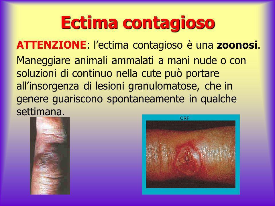 Ectima contagioso ATTENZIONE: lectima contagioso è una zoonosi. Maneggiare animali ammalati a mani nude o con soluzioni di continuo nella cute può por