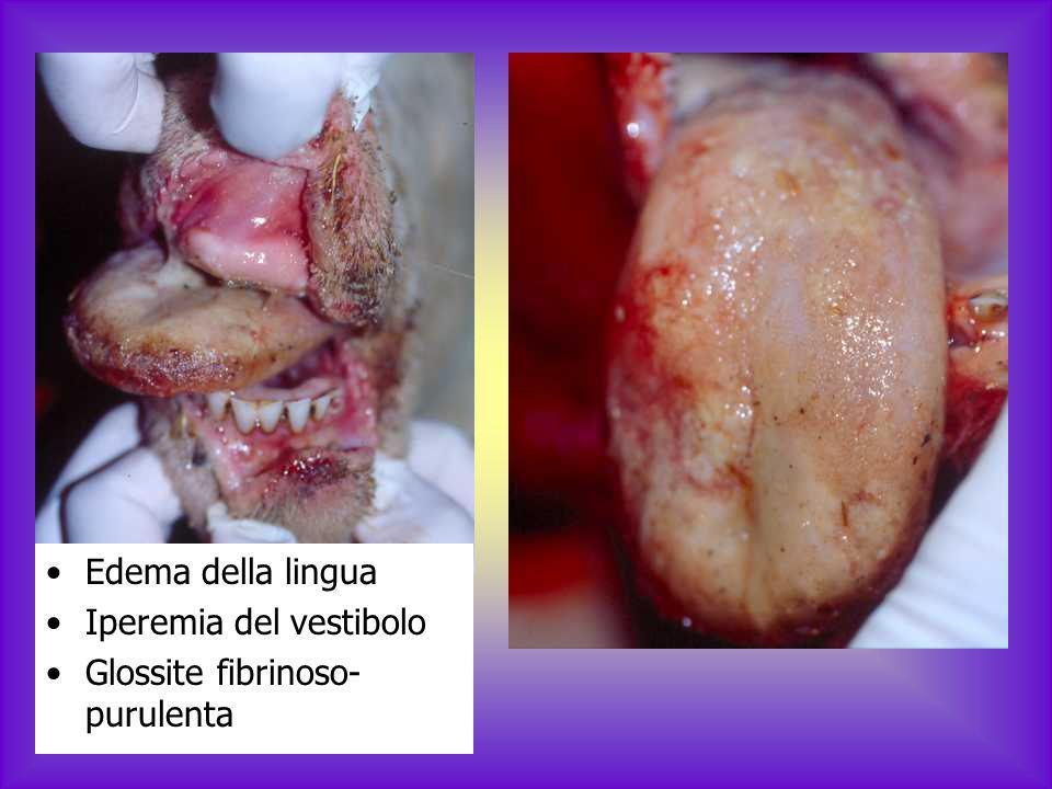 Erosioni nella mucosa del vestibolo Papule e croste sul labbro superiore