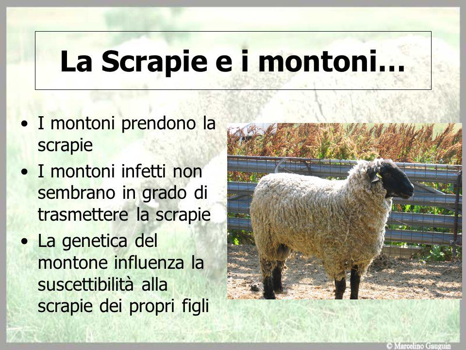 La Scrapie e i montoni… I montoni prendono la scrapie I montoni infetti non sembrano in grado di trasmettere la scrapie La genetica del montone influe