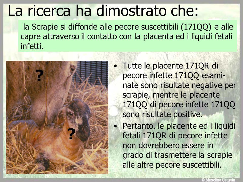 La ricerca ha dimostrato che: Tutte le placente 171QR di pecore infette 171QQ esami- nate sono risultate negative per scrapie, mentre le placente 171Q
