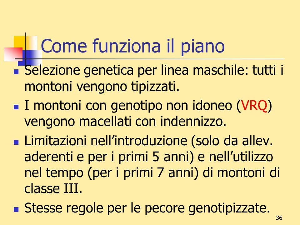 36 Come funziona il piano Selezione genetica per linea maschile: tutti i montoni vengono tipizzati. I montoni con genotipo non idoneo (VRQ) vengono ma