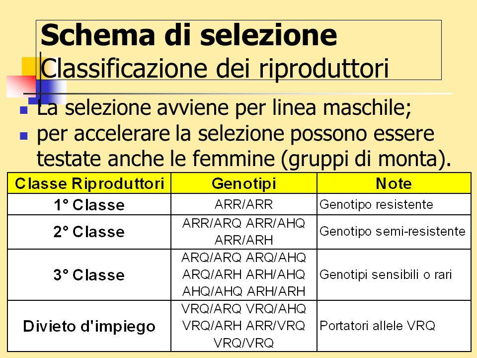 37 Schema di selezione Classificazione dei riproduttori La selezione avviene per linea maschile; per accelerare la selezione possono essere testate an
