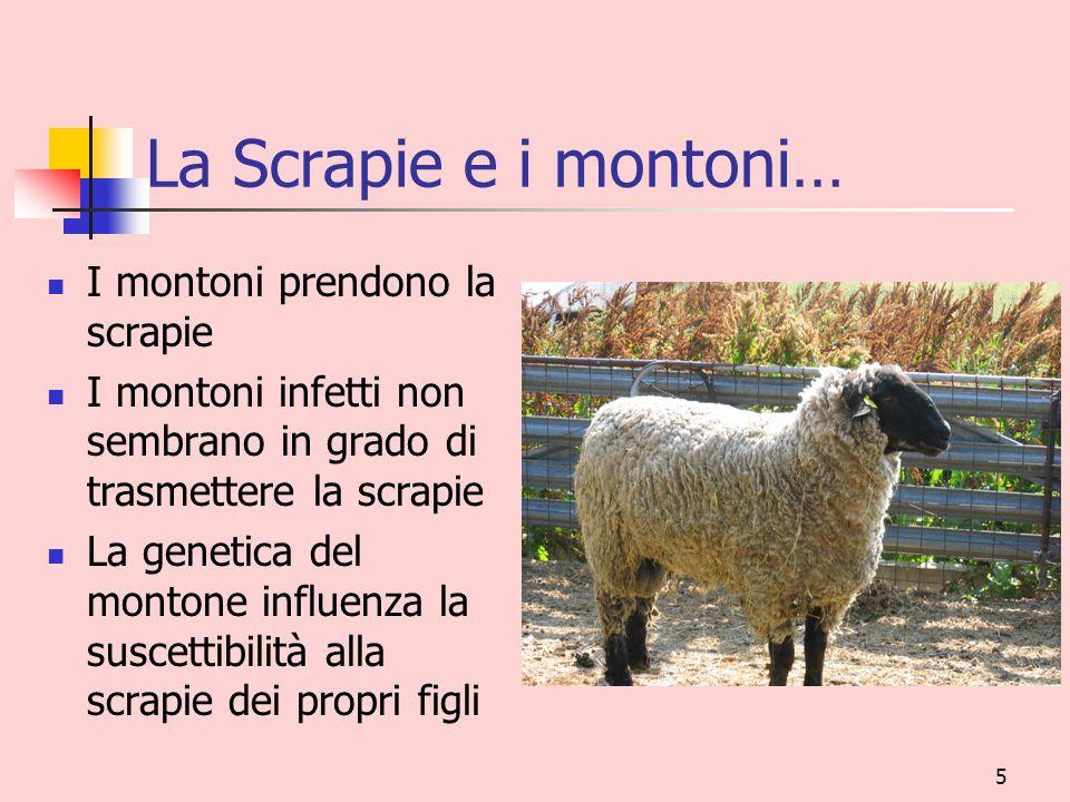 5 La Scrapie e i montoni… I montoni prendono la scrapie I montoni infetti non sembrano in grado di trasmettere la scrapie La genetica del montone infl