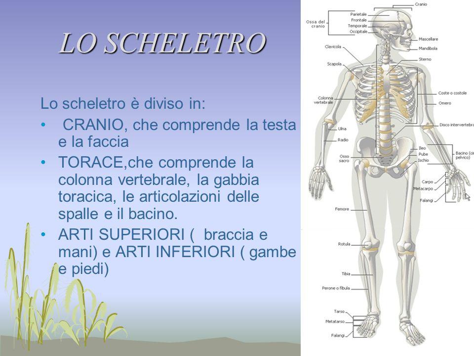 LO SCHELETRO Lo scheletro è diviso in: CRANIO, che comprende la testa e la faccia TORACE,che comprende la colonna vertebrale, la gabbia toracica, le articolazioni delle spalle e il bacino.