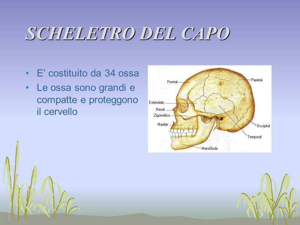 SCHELETRO DEL CAPO E costituito da 34 ossa Le ossa sono grandi e compatte e proteggono il cervello