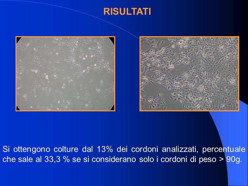 Si ottengono colture dal 13% dei cordoni analizzati, percentuale che sale al 33,3 % se si considerano solo i cordoni di peso > 90g.