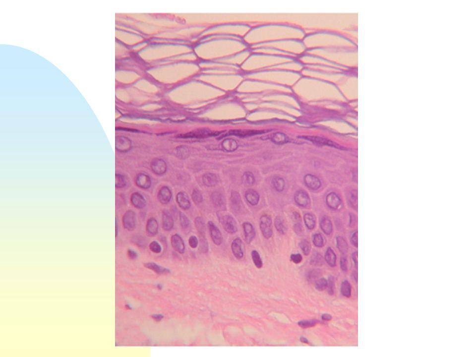 Frammento cutaneo Il frammento cutaneo (è sufficiente punch di cm 0,6) viene trattato con un enzima (collagenasi) per separare lepidermide dal derma.