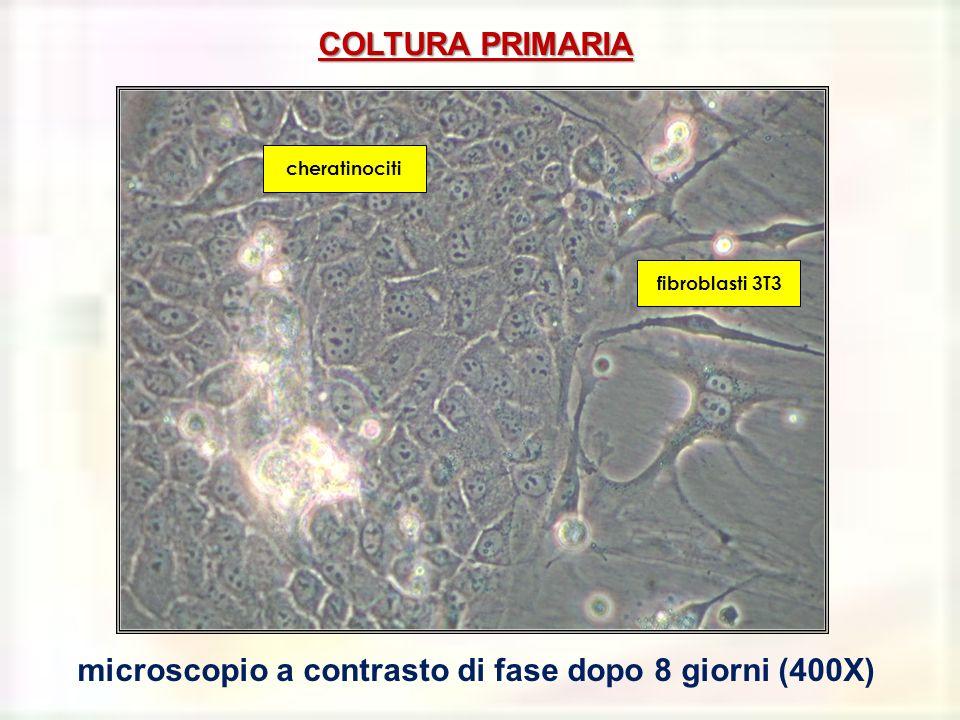 COLTURA PRIMARIA microscopio a contrasto di fase dopo 8 giorni (400X) cheratinociti fibroblasti 3T3