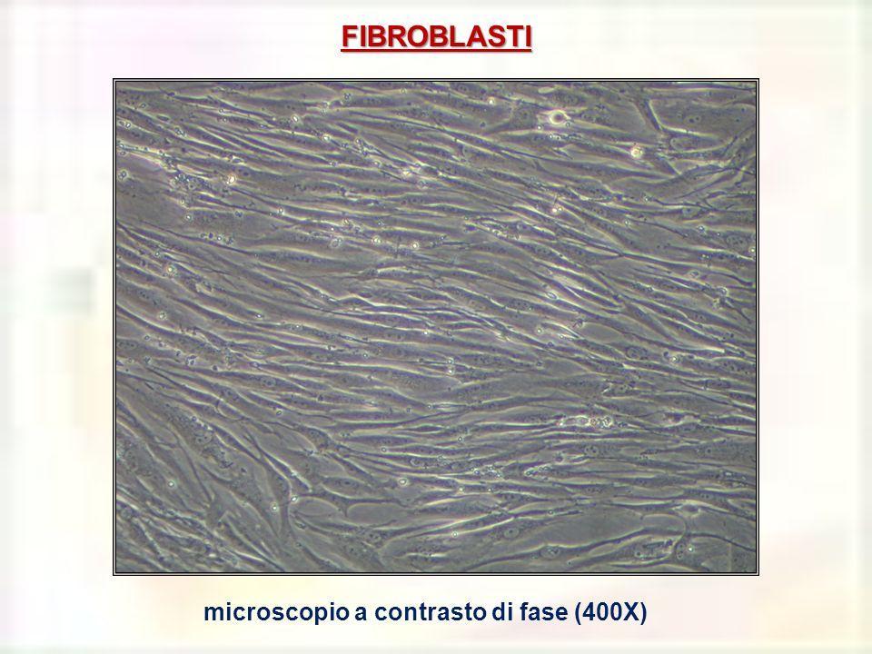 FIBROBLASTI microscopio a contrasto di fase (400X)