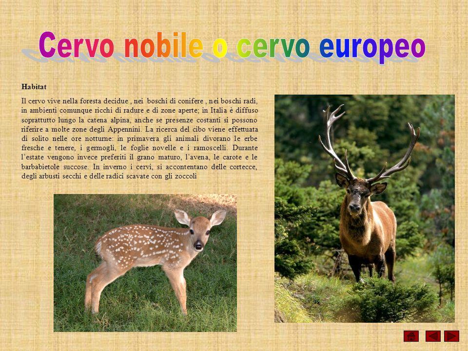 Habitat Il cervo vive nella foresta decidue, nei boschi di conifere, nei boschi radi, in ambienti comunque ricchi di radure e di zone aperte; in Itali