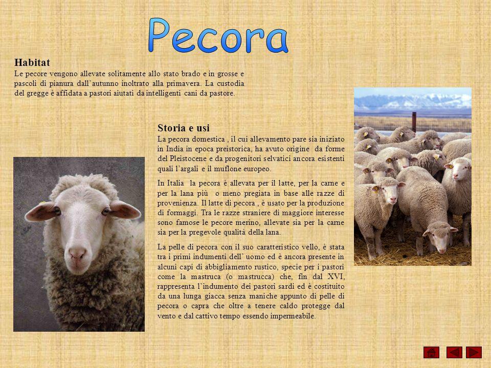 Habitat Le pecore vengono allevate solitamente allo stato brado e in grosse e pascoli di pianura dallautunno inoltrato alla primavera. La custodia del